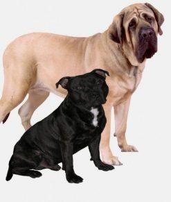 Bull Terrier/Mastiff